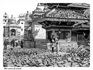 les pigeons du Népal